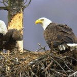 PGC – Pennsylvania Might Delist Bald Eagle